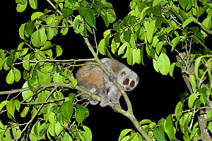 Pygmy slow loris (Nycticebus pygmaeus) in tree at night. Xishuangbanna, Yunnan Province, China. - Heather Angel
