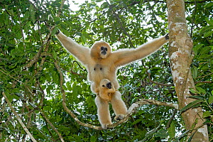 Northern white cheeked gibbon (Nomascus leucogenys) female standing in tree with baby aged two weeks. Parents captive bred and released. Wild Elephant Valley / Xishuangbanna, Yunnan Province, China, 2... - Heather Angel