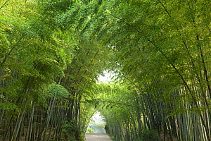 Bamboo (Bambusidae) arch over Jade Corridor road. Shunan Zhuhai National Park, Sichuan Province, China. - Heather Angel