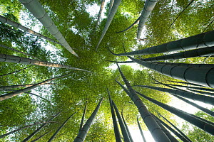 Moso bamboo (Phyllostachys edulis), view upwards into canopy, Shunan Zhuhai National Park, Sichuan Province, China. - Heather Angel