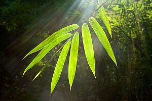 Sunbeams shining through Bamboo (Bambusidae) leaves. Shunan Zhuhai National Park, Sichuan Province, China. - Heather Angel