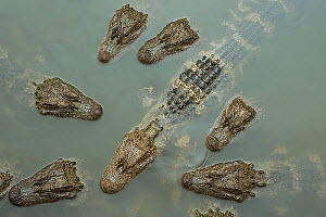 Chinese alligator (Alligator sinensis) group from above, heads above water of Yangtze. Critically endangered species, individuals released from captive breeding programme, Anhui Province, China. 2009 - Heather Angel