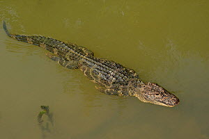 Chinese alligator (Alligator sinensis) swimming in Yangtze, streamline with legs pressed against body. Critically endangered species with captive breeding programme in Anhui Province, China. 2009 - Heather Angel