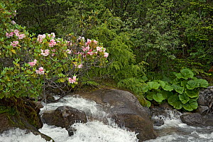 Rhododendron (Rhododendron souliei) and Leopard plant (Ligularia sp) on bank of river flowing through forest. South of Kangding, Sichuan Province, China. June.  -  Heather Angel