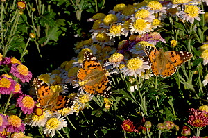 Painted lady butterflies (Vanessa cardui), three nectaring on potted Chrysanthemums (Chrysanthemum sp) in evening light. Urumqi Botanic Garden, Wushi, Xinjiang Uygur Autonomous Region, China. Septembe... - Heather Angel