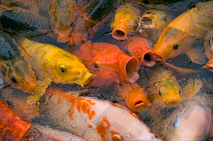 Ornamental koi carp (Cyprinus carpio) group with open mouths at lake surface. Xishuangbanna Tropical and Flowers Garden, Jinghong, Yunnan, China. - Heather Angel