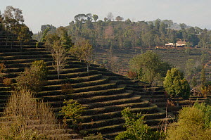 Old tea terraces with scattered shade trees. Near Kunming, Yunnan, China. January 2007.  -  Heather Angel