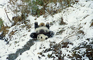 Giant panda (Ailuropoda melanoleuca) sliding down slope on back after losing footing. Panda Breeding Centre, Wolong, Sichuan, China. January 1987. - Heather Angel