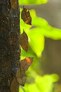Dead leaf / Orange oak leaf (Kallima inachus) butterflies feeding on sap on tree trunk. Mimic leaves with wings closed. Wild Elephant Valley, Xishuangbanna, Yunnan Province, China. - Heather Angel