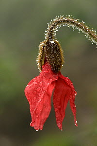 Red poppywort (Meconopsis punicea), raindrops on flower and stem. Medicinal plant in Tibet. Balang Shan, Sichuan Province, China. June. - Heather Angel