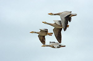Bar headed geese (Anser indicus), four in flight, one calling. Coming in to land at breeding site, Qinghai Lake, Qinghai Province, China. - Heather Angel