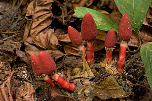 Red mucronata (Balanophora harlandii), a parasite on woody roots with flowers resembling fungi. Wild Elephant Valley, Xishuangbanna, Yunnan, China. - Heather Angel