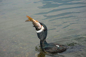 Cormorant (Phalacrocorax carbo) with fish in beak. Gullet restricted with rice straw tie, cormorant used by fisherman to return fish to raft. Bird allowed to eat every sixth fish. Yangshuo, Guangxi, C... - Heather Angel