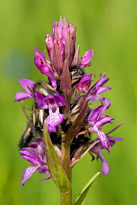 Scarab beetles sleeping overnight in Persian marsh orchid (Dactylorhiza umbrosa). Turkey. June. - Heather Angel