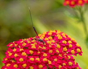 Chalcid wasp (Gasteruption jaculator) nectaring on Yarrow (Achillea millefolium) cultivar, picking up pollen on legs and head. Long ovipositor used to lays eggs inside solitary bee nests. In garden, S...  -  Heather Angel