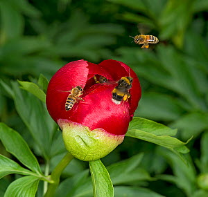 Honey bees (Apis mellifera) and White-tailed bumblebee (Bombus terrestris) waiting to enter Balkan peony (Paeonia peregrina) bud for fresh pollen before flower fully opens. In garden, Surrey, England,...  -  Heather Angel