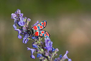 White-collar burnet moth (Zygaena carniolica) nectaring on Catnip (Nepeta nuda). Greece. July. - Heather Angel