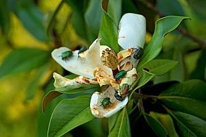 Iridescent rose chafers (Cetonia aurata) feeding on Magnolia (magnolia sp), making the flower less attractive to pollinators. North Greece. July.  -  Heather Angel