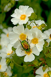 Rose chafer (Cetonia aurata) feeding on Rock rose (Cistus x hybridus) pollen. Cuts in petals where chafer's legs were inserted to prevent it from falling off. In garden, Surrey, England, UK. June.  -  Heather Angel