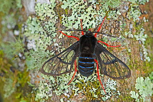Red-legged bumble-moth (Homoeocera gigantea) on Lichen covered tree trunk. Costa Rica. - Heather Angel