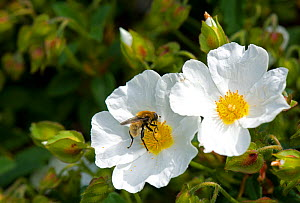 Narcissus fly (Merodon equestris) male nectaring on Rock rose (Cistus x hybridus) in garden, Surrey, England, UK. - Heather Angel