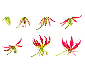 Flame lily (Gloriosa superba), timelapse sequence from opening bud to flowering, tepals becoming reflexed. Flower pollinated by butterflies. Controlled conditions. - Heather Angel