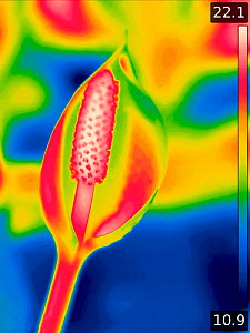 Skunk cabbage (Lysichiton americanus), taken with infra-red thermograph camera in swamp area. Spadix hottest at 22�C. In cultivation, Surrey, England, UK. Native to Canada and USA. Sequence 2/2. - Heather Angel