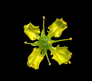 Common rue (Ruta graveolens) flower in visible light, nectar at base of petals. Stamens flip up sequentially with one still folded over the receptacle. Surrey, England, UK. Native to Balkan Peninsula.... - Heather Angel