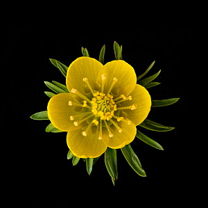 Winter aconite (Eranthis hyemalis) with ring of nectaries below stamens. Focus stacked.  -  Heather Angel