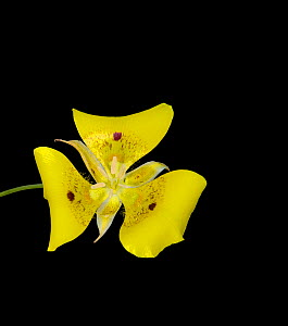 Yellow mariposa lily (Calochortus luteus) with dark nectar guides. Cultivated in glasshouse, Surrey, England, UK. Endemic to California. - Heather Angel