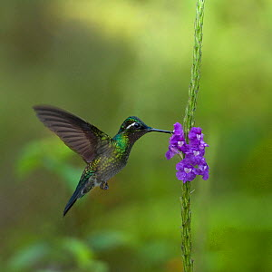 Purple throated mountain gem hummingbird (Lampornis calolaemus) hovering as it nectars on Porterweed (Stachytarpheta frantzii). Costa Rica.  -  Heather Angel