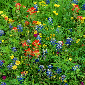 Texas bluebonnets (Lupinus texensis) and Indian paintbrush (Castilleja coccinea) amongst wildflowers in ditch beside byway. Rains triggered germinaton of annual seeds. Cuero, Texas, USA. April. - Heather Angel