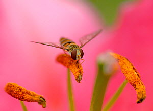 Marmalade hoverfly (Episyrphus balteatus) feeding on pollen on Stargazer lily (Lilium orientalis 'Stargazer') anther. Pollination occurs when pollen is transferred to next lily flower on hover... - Heather Angel