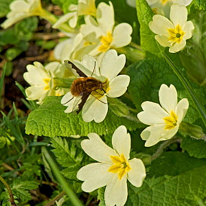 Common bee fly (Bombylius major) nectaring on Primrose (Primula vulgaris). This insect is the main pollinator of Primrose. In nature reserve, Surrey, England, UK, April.  -  Heather Angel