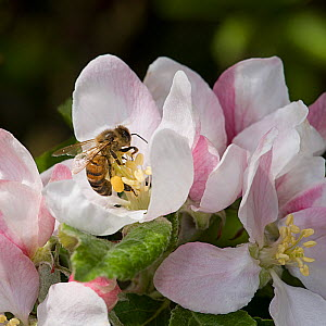 Honey bee (Apis mellifera) forages on pollen in Apple (Malus domestica) flower, collecting pollen in pollen basket. In garden, Surrey, England, UK. May.  -  Heather Angel