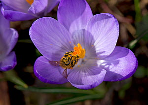 Honey bee (Apis mellifera) covered in pollen emerging from nectaring in Crocus (Crocus sp). On nature reserve, Surrey, England, UK. March. - Heather Angel