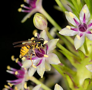 Wasp (Vespula germanica) nectaring on Pineapple lily (Eucomis comosa). Pollen is deposited on underside of wasp's hairy body and transferred to stigma of next flower visited. Lily cultivated in ga...  -  Heather Angel