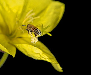 Honey bee (Apis mellifera) carrying pollen strings from previous flower into Evening primrose (Oenothera glazioviana). At night in garden. Surrey, England, UK. July. - Heather Angel