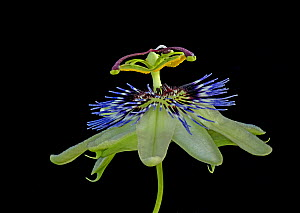 Blue passionflower (Passiflora caerulea). Flower is pollinated by larger bees. Focus stacked. - Heather Angel