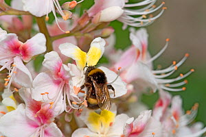 Bumblebee (Bombus sp) nectaring on Indian horse chestnut flower (Aesculus indica). Yellow spots on banner petals turn pink as nectar resource declines. Orange pollen is pick ed up on wings and thorax... - Heather Angel