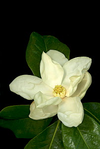 Southern magnolia / Bull bay (Magnolia grandiflora) flower. The opening and closing of petals controls the time beetle pollinators enter and leave the flower. Cultivated in garden, Surrey, England, UK... - Heather Angel
