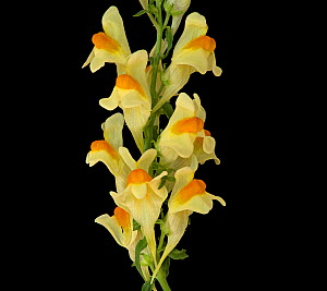 Common toadflax (Linaria vulgaris), orange nectar guides on lower lip and long spur containing nectar. Surrey, England, UK. Focus stacked.  -  Heather Angel