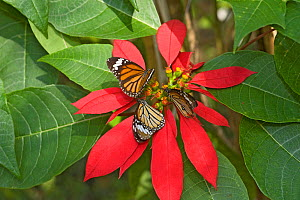 Monarch butterflies (Danaus plexippus), three nectaring on Poinsettia (Euphorbia pulcherrima), resting on red bracts. In butterfly house, Xishuangbanna, Yunnan Province, China.  -  Heather Angel
