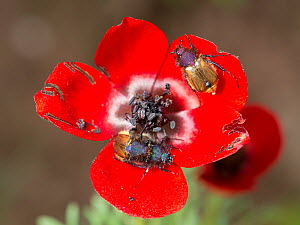 Red bowled anemone (Anemone bucharica) with dark stamens and patterns on petal bases to attract Scarab beetle (Eulasia sp) pollinators. Beetles pick up pollen on hairy bodies but can damage petals, Ta... - Heather Angel