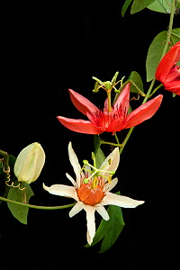 Orange-petaled passionflower (Passiflora aurantia) changing colour from cream to orange. Cultivated in glasshouse, Kew Gardens, London, England, UK. Native to New Guinea and northeast Australia. Contr...  -  Heather Angel