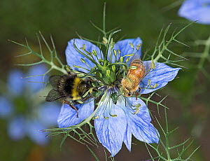 Bumblebee (Bombus sp) and Honey bee (Apis mellifera) nectaring on Love-in-a-mist (Nigella damascena) flower. Anthers transferring pollen onto bee backs. - Heather Angel