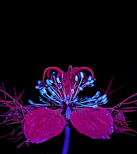 Love-in-a-mist (Nigella damascena) stamens fluroescing in UV light. Ring of nectaries are dark red with blue UV reflective hairs.  -  Heather Angel