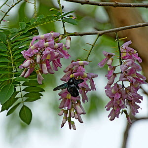 Carpenter bee (Xylocopa fimbriata) nectaring on Quickstick / Mother of cocoa tree (Gliricidia sepium). Chiapas, Mexico. - Heather Angel