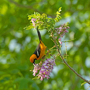 Altamira oriole (Icterus gularis) nectaring on Quickstick / Mother of cocoa tree (Gliricidia sepium) flower. Chiapas, Mexico. - Heather Angel