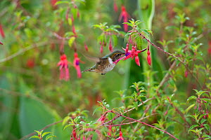 Volcano hummingbird (Selasphorus flammula) female nectaring on Hardy fuchsia (Fuchsia magellanica) in garden. Stamens brushing bird's chest feathers. Costa Rica. - Heather Angel